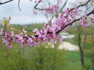 redbud resized