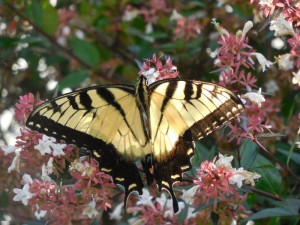Yellow Tiger Swallowtail_resized