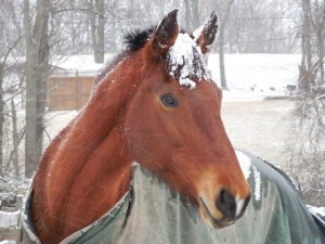 Snow Forelock2